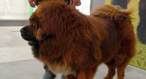 ovo-je-najskuplji-pas-na-svetu