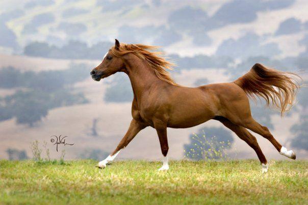 Arapski konj - najlepsi medju plemenitim zivotinjama