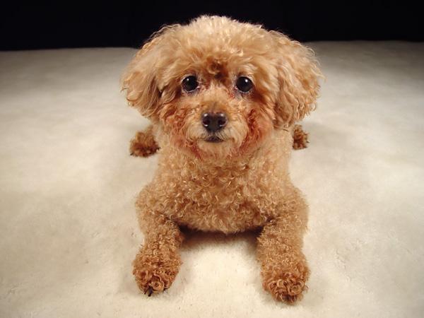 Najbolji psi za stan i kucu - oni koji se ne linjaju