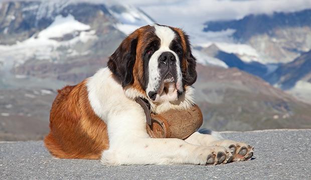 Bernardinac - pas koji lici na neznog diva
