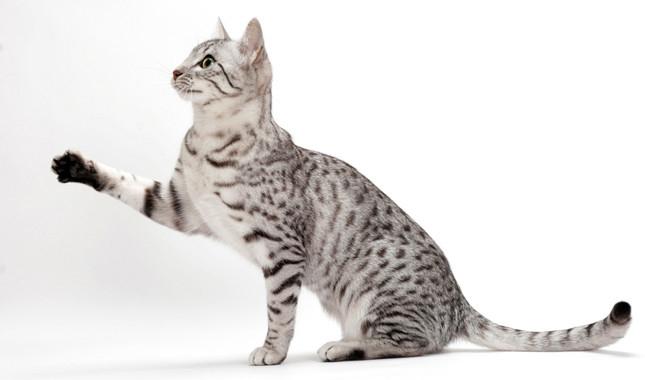 Egipatski mau - mačka faraona