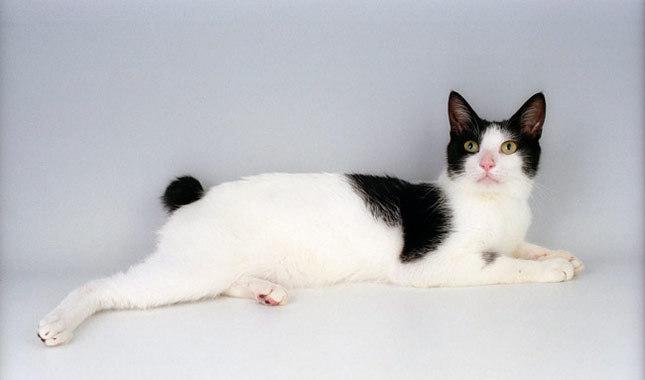 Japanska bobtejl mačka - kratkorepa maca koja donosi sreću