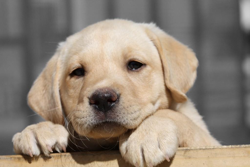Labrador retriver - umiljat i vrlo popularan pas