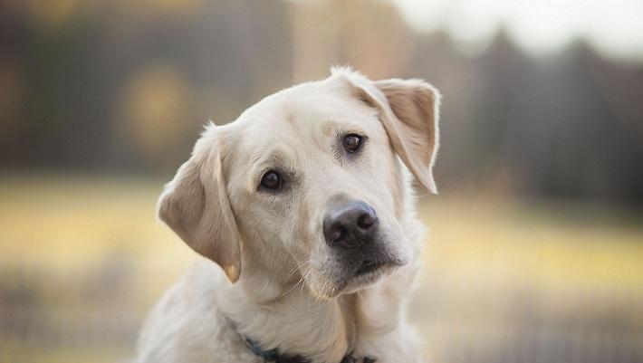 Labrador retriver - umiljat i vrlo popularan pas 2