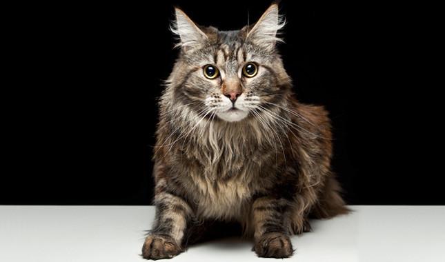 Maine Coon mačka - dugodlaka snalažljiva maca