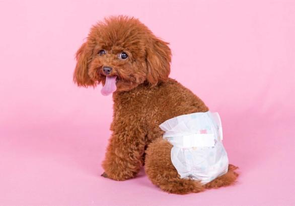 Menstruacija teranje kod pasa - trajanje simptomi i saveti