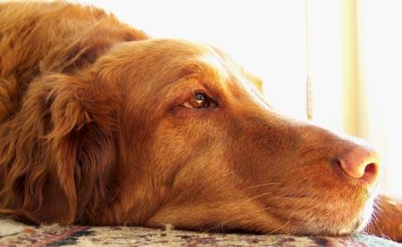 Opadanje dlake kod pasa - uzroci i lecenje