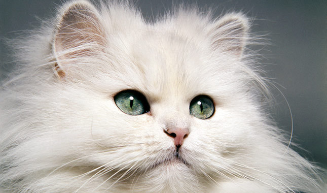 Punch face persian cats for sale in bangalore dating 5
