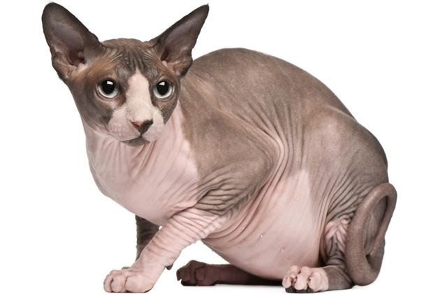 Sfinks mačka - neobična maca bez dlake