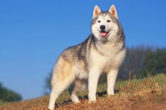 Sibirski haski - snalazljiv pas velike energije