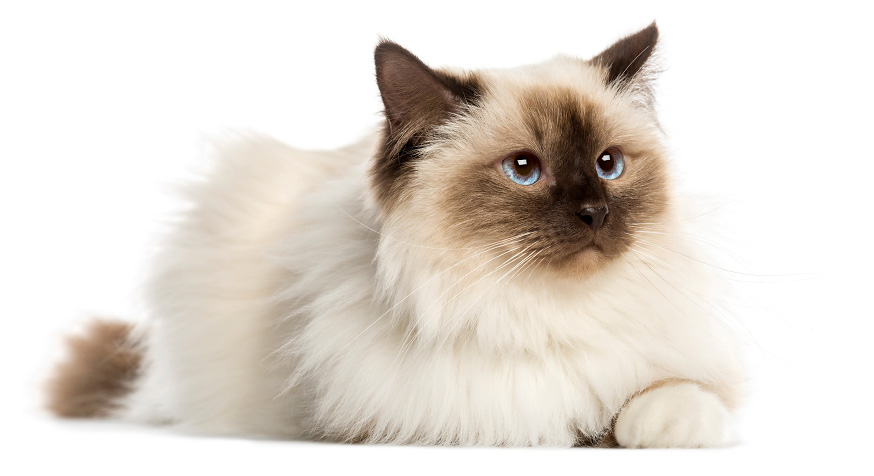 Sveta Birmanska mačka - karakteristike ove rase