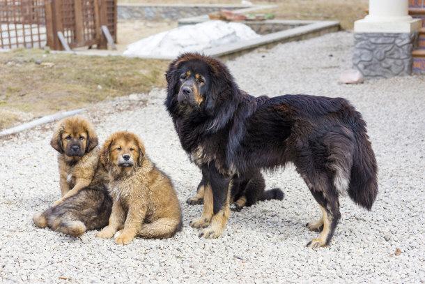 Tibetski tibetanski mastif - slatki dzin koji podseca na medu 2