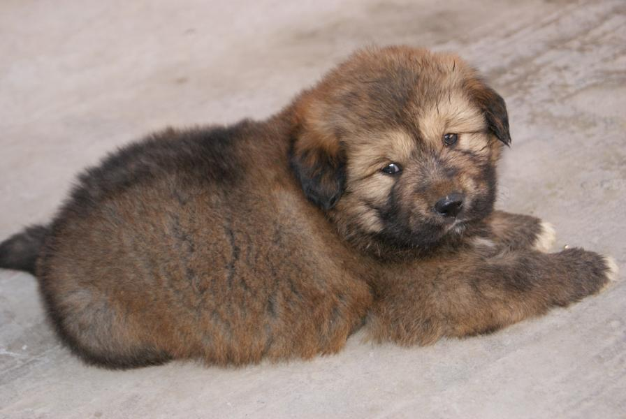 Tibetski tibetanski mastif - slatki dzin koji podseca na medu
