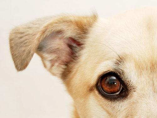 Upala uha kod pasa - simptomi i lecenje
