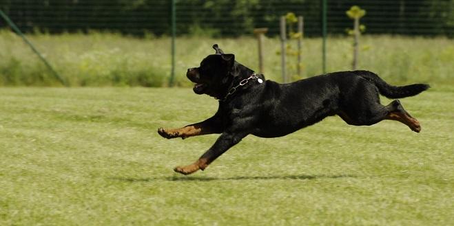 Najjači pas na svetu