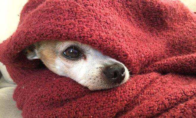 Prehlada kod pasa