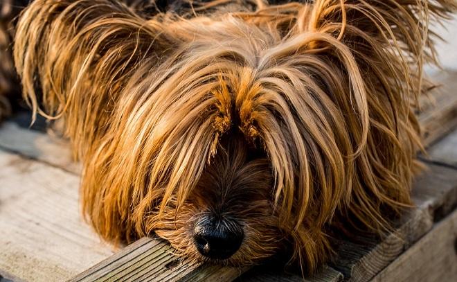 suga kod pasa - simptomi i lečenje