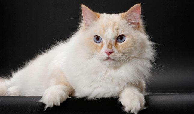 najveca-macka-na-svetu-i-najvece-rase-macaka-rugamuffin