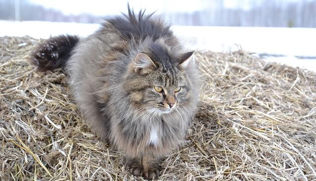 najveca-macka-na-svetu-i-najvece-rase-macaka-siberian