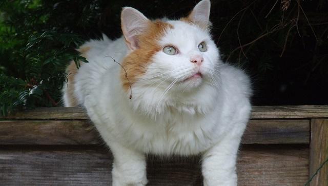 turska-van-macka-dugodlaka-maca-koja-voli-vodu-jpg2