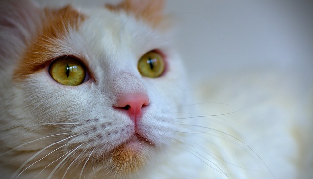 turska-van-macka-dugodlaka-maca-koja-voli-vodu1