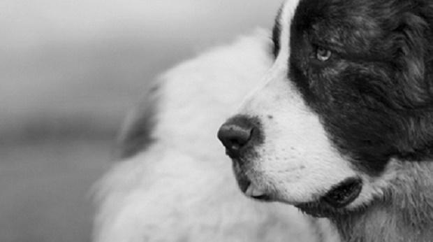 pirinejski-mastif-osobine-i-zanimljivosti1